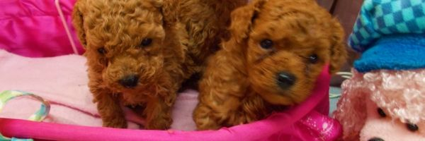 Champion AKC White Toy & Teacup Poodle Puppies For Sale in FL