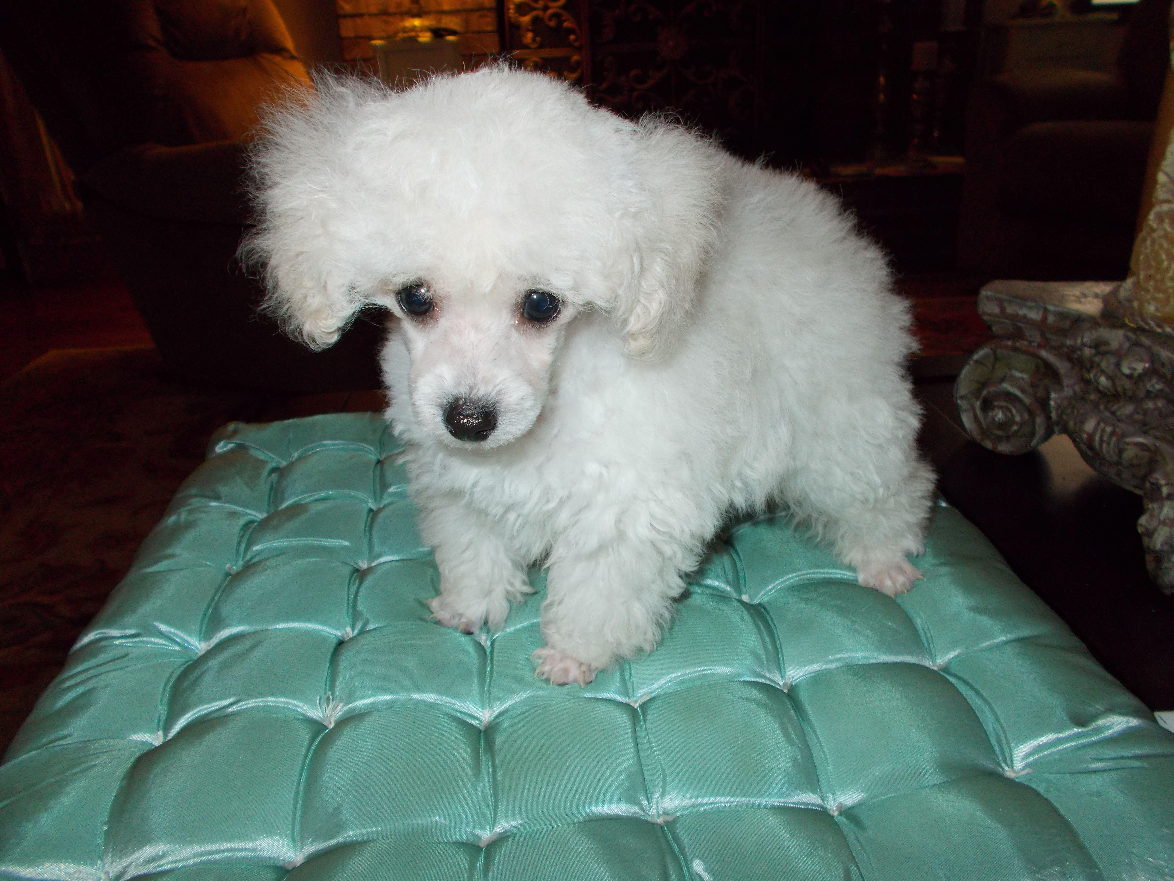 Red & Ice White Teacup & Toy Poodle Breeders in Florida