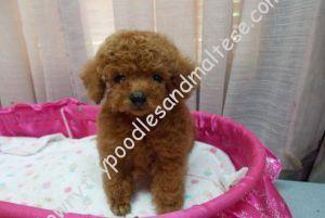 Red Toy and Teacup Poodle Puppies For Sale