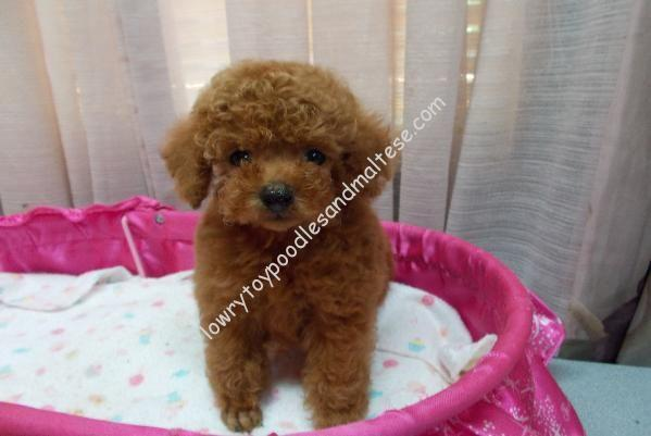 Mini toy poodle adoption