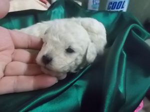 Cream Poodle Puppies Available for Sale