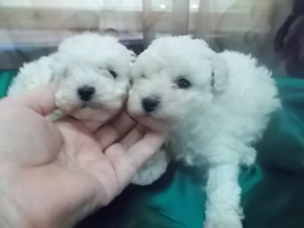 Ice white poodle pups