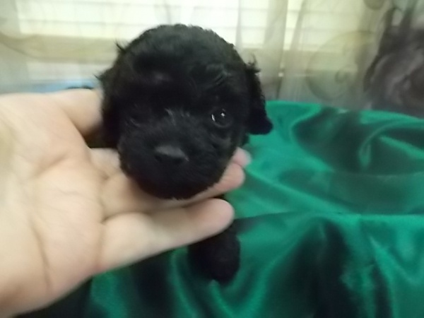 Jet Black Male Toy Poodle