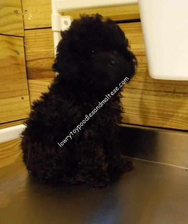 Black Female Toy Poodle Puppy – SOLD!