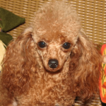 Red Toy Poodle Breeders in Alabama
