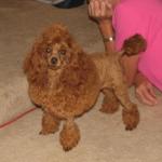 Alabama Red Toy Poodles